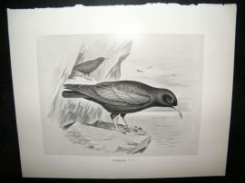 Frohawk 1898 Antique Bird Print. Chough
